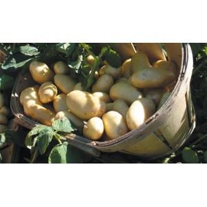 Pomme de terre nouvelle au kg